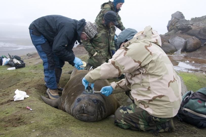 Les balises sont fixées à l'aide d'une résine et tombent naturellement, le plus souvent au moment où l'éléphant de mer renouvelle son pelage. Crédits : MNHN-CNRS/SMRU-SEaOS.